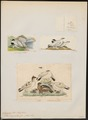 Lagopus rupestris - 1700-1880 - Print - Iconographia Zoologica - Special Collections University of Amsterdam - UBA01 IZ17100417.tif