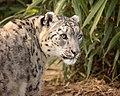 Laila Snow Leopard (215594069).jpeg