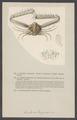 Lambrus longimanus - - Print - Iconographia Zoologica - Special Collections University of Amsterdam - UBAINV0274 006 01 0054.tif