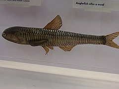 Lampanyctus crocodilus.001 - Natural History Museum of London.JPG