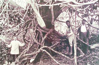 Landolphia owariensis - L. owariensis wrapping around a fig tree