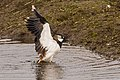 Lapwing bathing (33758121585).jpg