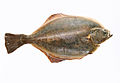 Large flounder caught in Holland on a white background.jpg