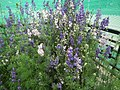 Larkspur from Lalbagh flower show Aug 2013 8062.JPG