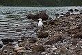 Larus michahellis atlantis, Lagoa do Fogo, Azores 2.jpg
