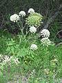 Laserpitium latifolium001.jpg