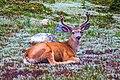 Late flowering in 2011…deer (15495292364).jpg