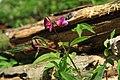 Lathyrus vernus in national nature reserve Vyšenské kopce in spring 2012 (2).JPG
