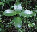 Laurelia novae-zelandiae 11.JPG