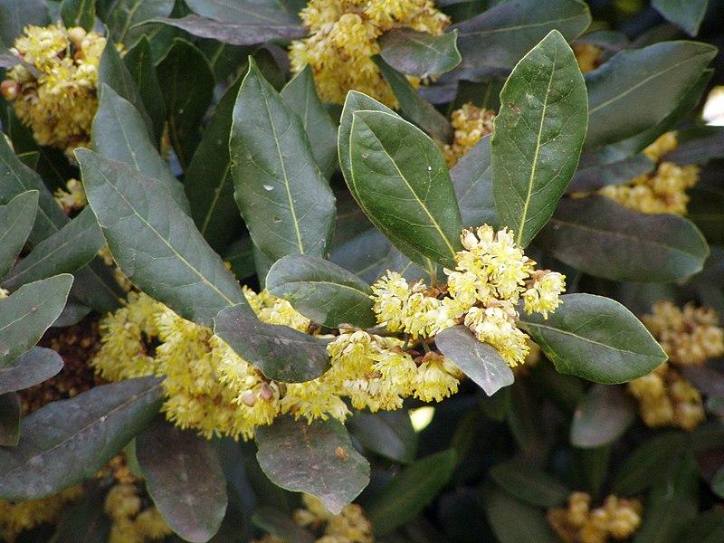 File:Laurus nobilis flowers.jpg