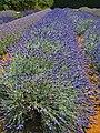 Lavender Fields (43609441882).jpg