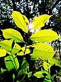 Leaf of Myristica fragrans.jpg