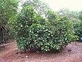 Lebronnecia kokioides - Koko Crater Botanical Garden - IMG 2266.JPG