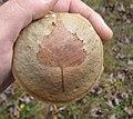 Leccinum holopus (Rostk.) Watling 468709 crop.jpg