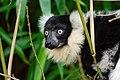 Lemur (26080950958).jpg