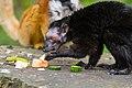 Lemur (36302415110).jpg