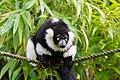 Lemur (36499936673).jpg