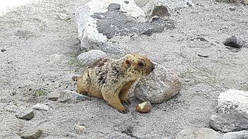 Lemur in Leh ladak 6.jpg