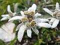 Leontopodium alpinum in Strada delle 52 Gallerie.JPG