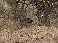 Leopard hiding.jpg
