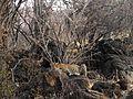 Leopard resting Moyar AJTJ P1010815.jpg