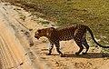 Leopardess elegantly crossing the road.jpg