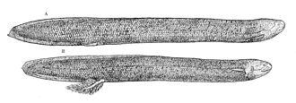 South American lungfish - Image: Lepidosiren paradoxa 1