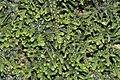 Lepidozia reptans (b, 144704-474747) 2587.jpg