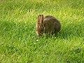 Lepus americanus - Blomidon Provincial Park 03.jpg
