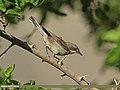 Lesser Whitethroat (Sylvia curruca) (15709677069).jpg