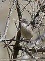 Lesser Whitethroat (Sylvia curruca) (32770540492).jpg