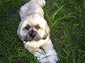 Lhasa Apso shorter hair July 4th 2008 3-?? PM.JPG