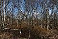 Lichter Birkenwald im Everstenmoor.jpg