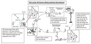 Dictyostelium discoideum - Lifecycle of farmer D. discoideum