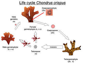 Chondrus crispus - The life cycle of Chondrus crispus. Below the life stage are indicated if the life stage is haploid(n) or diploid  (2n) and the type of carrageenan present.