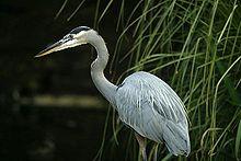 Great Blue Heron - Chesapeake Bay Program