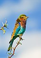 Lilac-breasted Roller on Acacia tree in Botswana series - image 3 of 3.jpg