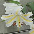 Lilium auratum-IMG 6039.jpg