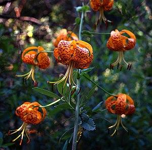 Lilium pardalinum - Image: Lilium pardalinum