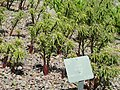 Lilium regale - Copenhagen Botanical Garden - DSC07465.JPG