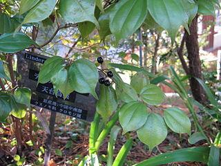 <i>Lindera aggregata</i> species of plant