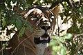 Lion, Ruaha National Park (2) (28407822404).jpg
