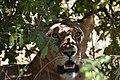 Lion, Ruaha National Park (5) (28407417844).jpg