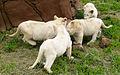 Lion cubs (4300079805).jpg