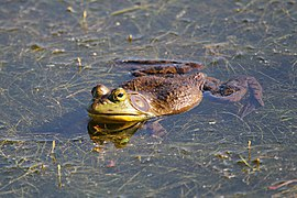 Lithobates catesbeianus 2 MP.jpg