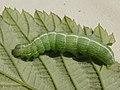 Lithophane socia (larva) - Pale pinion (caterpillar) - Коровая совка жёлто-бурая (гусеница) (41130145061).jpg
