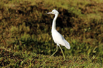 Little blue heron - Juvenile, Tobago