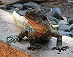 Lizard 4 (30425518344).jpg