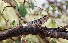 A lizard from Thar desert