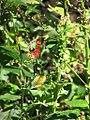 Lobelia cardinalis 8zz.jpg